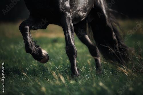 Fotografia Friesian horse stallion