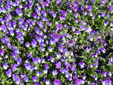 Closeup On Big Group Of Wild Pansy Viola Tricolor Violet Flowers