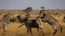 Zebra Fighting, Kicking, Biting In The Wild