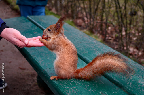 Squirrel reaches for the nut in the man's hands on a park bench Fototapet
