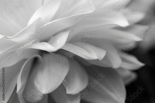 Obraz na plátně Dahlia flower petals close-up in black and white