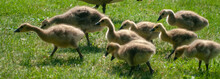 Country Goose Family In The Park.