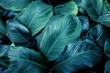 Leinwandbild Motiv closeup nature view of tropical leaf background, dark tone concept