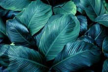 Closeup Nature View Of Tropical Leaf Background, Dark Tone Concept