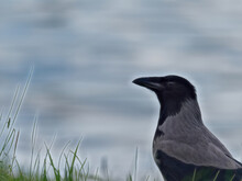Closeup Shot Of A Hooded Crow On Green Grass Along The River