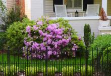 Purple Rhododendron, Porch Decor