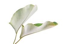 Tropical Leaf Of Calathea Lutea (Aubl.) G. Mey., Cigar Calathea