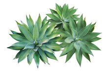 Top View Of Fox Tail Agave Plants Isolated On White Background W