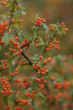 Selective Focus Shot Of Beautiful Red Firethorns Growing In The Forest