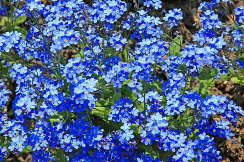 Myosotis bleu du printemps #436368486