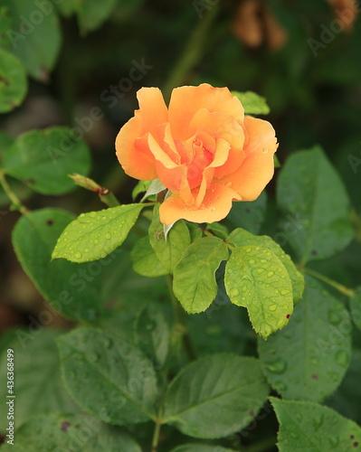 Rose orangée #436368499