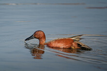 Closeup Shot Of A Cinnamon Teal Duck Swimming In A Pond