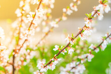 Beautiful Spring Fruit Bush Blooms With White Flowers
