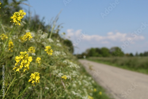 Wallpaper Mural yellow rapeseed and cow parsley closeup in the verge of a road in the dutch pold