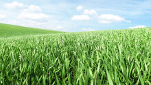 Smooth Green Grass, Lawn Against A Large Blue Sky On A Sunny Day. Wide View Of The Mown Lawn. Natural Background Of Green Grass, Fresh Juicy Frame.
