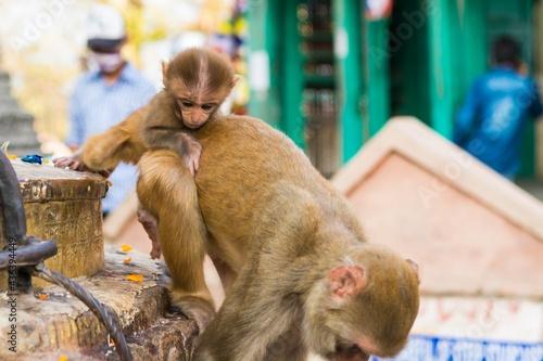 Wild macaque monkeys playing outdoor at shrine. Fototapeta