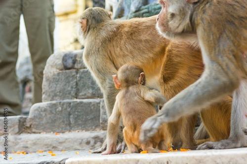 Slika na platnu Wild macaque monkeys playing outdoor at shrine.