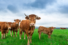 Curious Cows Looking At Camera. Grazing Herd Of Cows With Young On Green Grass
