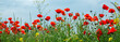 Poppy field. Nature spring summer panoramic background.
