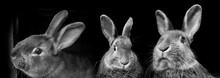 Rabbits Black And White Photo