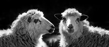 Black And White Sheep Portrait Close Up