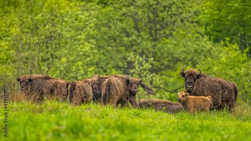 Fényképezés European Bison (Wisent) /Bison bonasus/ The Bieszczady Mts