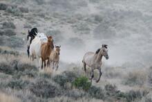 Wild Mustang Horses In Colorado