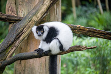 The Lazy Black-and-white Ruffed Lemur (Varecia Variegata). An Endangered Species Of Ruffed Lemur, One Of Two Which Are Endemic To The Island Of Madagascar. It Is Known For Its Loud, Raucous Calls.