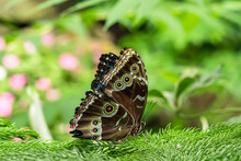 Brown Owl Butterfly With Large Spots On Its Wings In The Garden Close-up With Copy Space