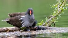 Teichralle, Teichhuhn, Bird, Wasser, Ente, Cygnus, Natur, See, Tier, Black, Teich, Schnabel