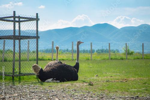 Slika na platnu ostrich farm in the mountains