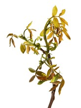 Twig Of Walnut Tree With Flowers And Growing Leaves