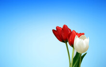 Red Tulip On Blue Sky Background