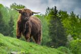 Fototapeta Zwierzęta - Szkocka krowa highlander
