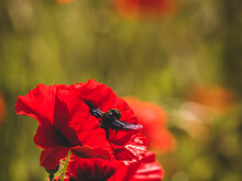 Close Up View On Red Poppies And A Carpenter Bee - Focus And Blur Background - Flowers In Nature - Ecology Concept