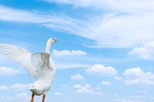 White Goose Standing With Wings Spread White Blue Sky Background,seagull In Flight
