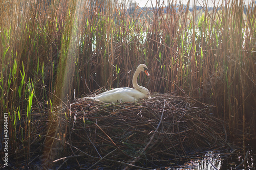Fototapeta swan mother hatching eggs in a nest in sedge on a lake in the setting sun