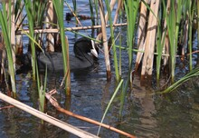 Eurasian Coot, Or Common Coot, Or Australian Coot (Lat. Fulica Atra) Of Rallidae Family Swimming Among Reeds. Adult Aquatic Bird. Black Red-eyed Waterbird.