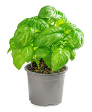 Fresh Basil Leaves Plant In A Pot Isolated On White Background, Close Up. Basil Herb  Young Plant Growing, Seeding .
