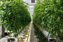 Indoor Tomato Farm