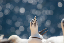 Beautiful Gannet Bird Looking Up With Bokeh Lights In A Background