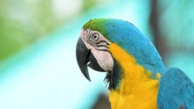 Blue And Yellow Parrot In Front.