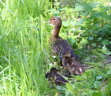 Wild Duck With Ducklings In The Green Grass