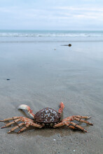 Crab On The Beach, Crayfish On The Sand Chore