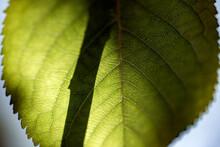 Green Leaf Macro, Nacka, Sverige, Sweden, Stockholm