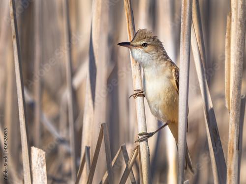 Fotografia Great reed warbler - Acrocephalus arundinaceus