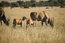 Elands With Calves, Kenya