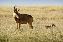 Jackson's Hartebeest With Calf, Kenya