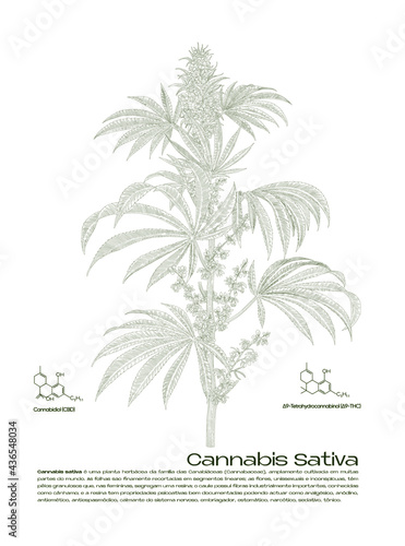 Tela botanic illustration of a cannabis sativa