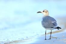 Laughing Gull, Leucophaeus Atricilla, Saint Andrews Sate Park, Florida, USA